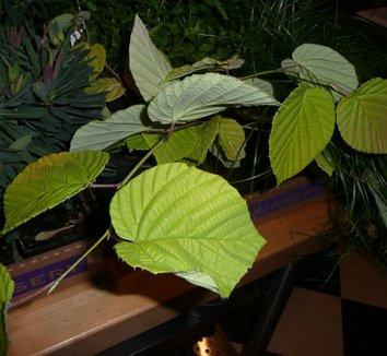 Corylopsis spicata 'Aurea' 1