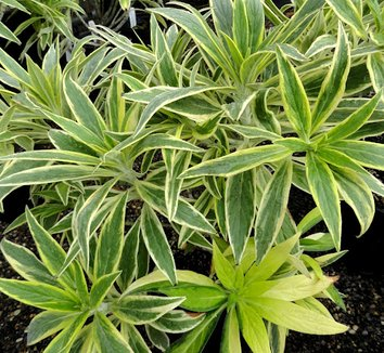Echium candicans 'Star of Madeira' 11