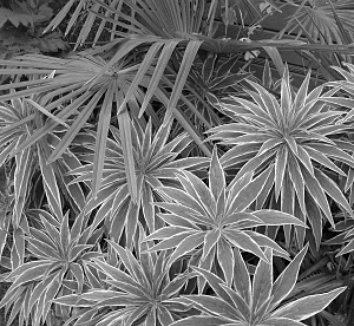 Echium candicans 'Star of Madeira' 12 black and white