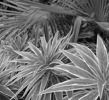 Echium candicans 'Star of Madeira' 13 black and white