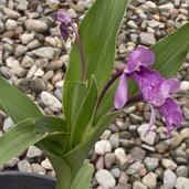 Roscoea alpina
