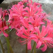 Lycoris 'Flaming Dragon'