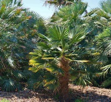 Trachycarpus wagnerianus 16