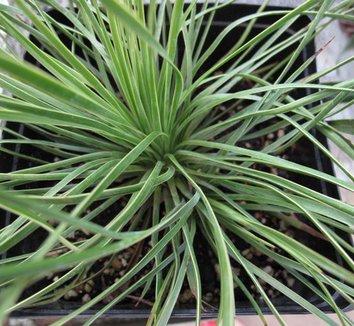 Yucca linearifolia 2