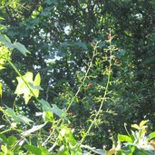 Teucrium viscidum 'Lemon Lime'