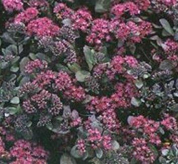 Sedum 'Bertram Anderson' 1 flower