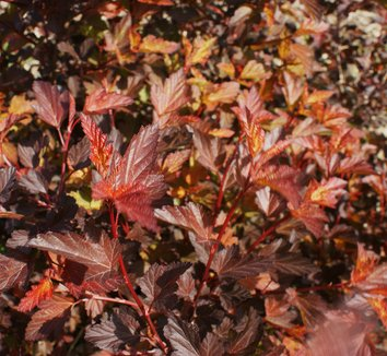 Physocarpus opulifolius 'Coppertina' 12