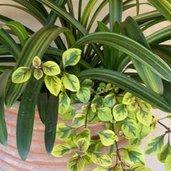 Plectranthus 'Lime Light'