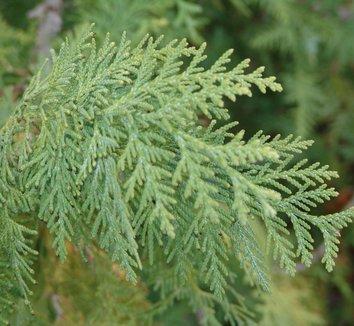 Thuja koraiensis 1