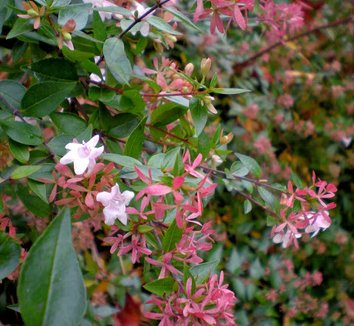 Abelia x grandiflora 6