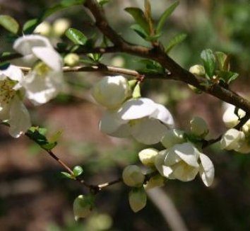 Chaenomeles speciosa 'Jet Trail' 1 flower