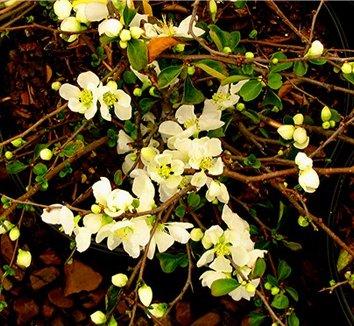 Chaenomeles speciosa 'Jet Trail' 6 flower