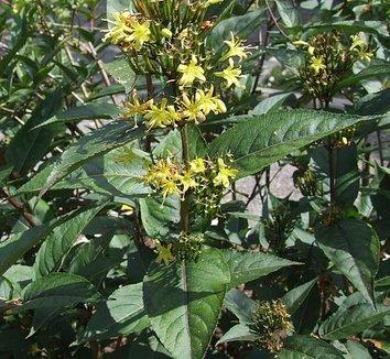 Diervilla rivularis 1 flower