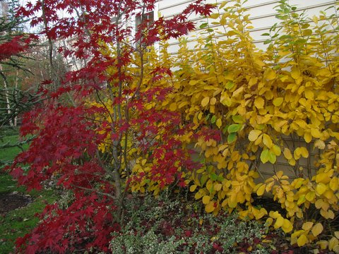 Hamamelis Virginiana Hamamelis Macrophylla Common Witch Hazel Witch Hazel Plant Lust