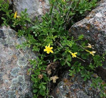 Jasminum fruticans 1 flower