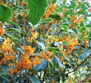 Osmanthus fragrans var. aurantiacus 8 flower