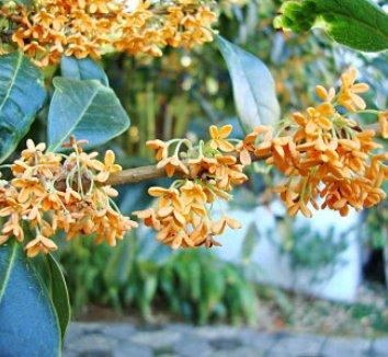Osmanthus fragrans var. aurantiacus 9 flower
