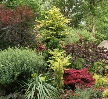 Salix purpurea 'Nana' 1