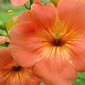 Campsis grandiflora 'Morning Calm'