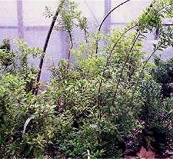 Leucothoe populifolia 1