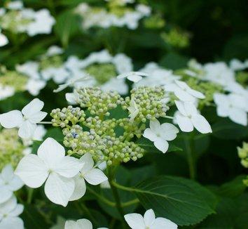 hydrangea macrophylla whiteu0027 - White Hydrangea