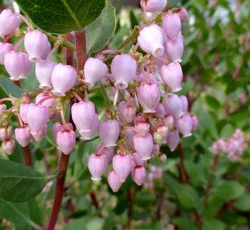 Arctostaphylos x 'Austin Griffiths' 15 flower