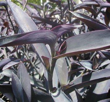 Tradescantia pallida 'Purple Heart' 9