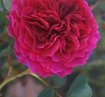 Rosa 'Prospero ' 1 flower