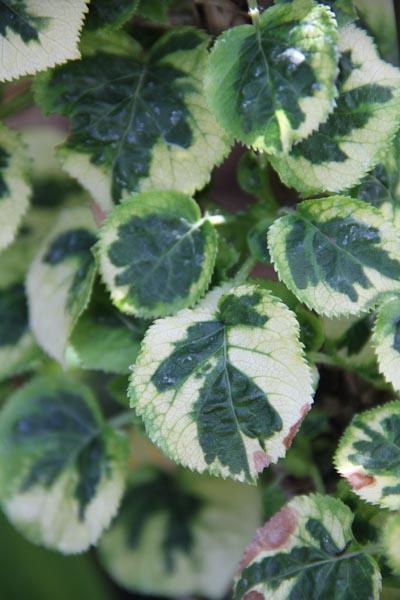 Image gallery hydrangea anomala petiolaris miranda - Hydrangea petiolaris ...