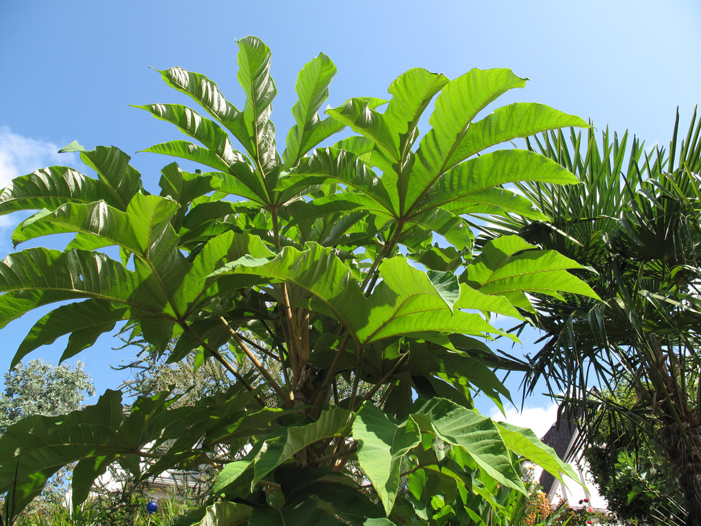 tetrapanax steroidal giant for sale