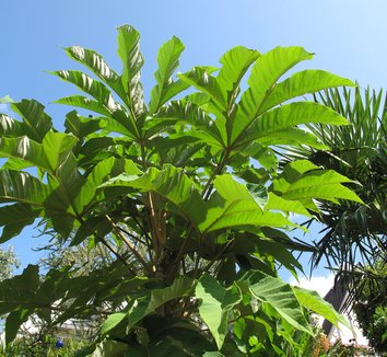 Tetrapanax papyrifer 'Steroidal Giant' 4 form