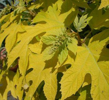Hydrangea quercifolia 'Little Honey' 10