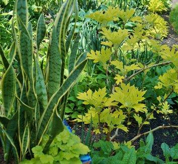Hydrangea quercifolia 'Little Honey' 12