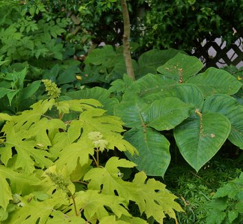 Hydrangea quercifolia 'Little Honey' 15