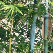 Bambusa chungii 'Barbellata'