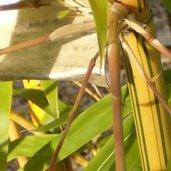 Bambusa eutuldoides 'Viridi-Vittata'