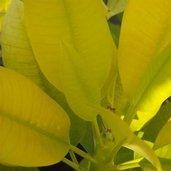 Plumeria rubra 'Aurea'