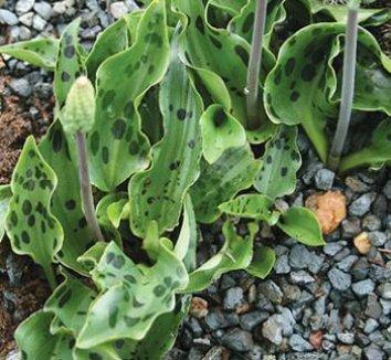 Drimiopsis maculata 1 flower