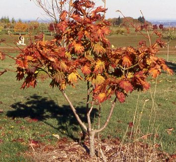 Acer japonicum 'Attaryi' 1 form