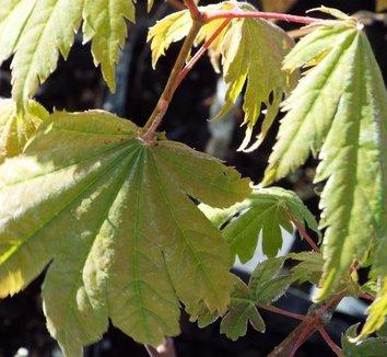 Acer japonicum 'Vitifolium' 1