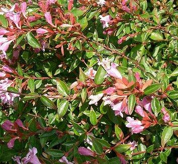 Abelia x grandiflora 'Edward Goucher' 10 flower