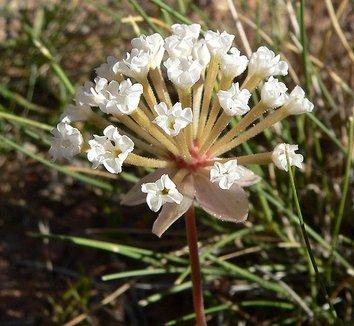 Abronia turbinata 1 flower