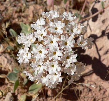 Abronia turbinata 2 flower