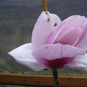 Magnolia 'Advance'
