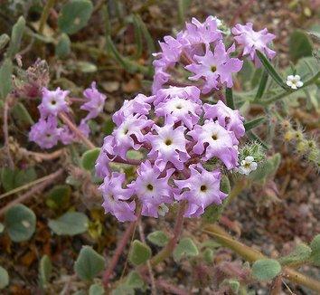 Abronia villosa 3 flower