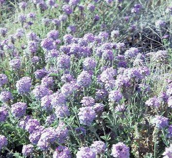 Abronia villosa 1 flower
