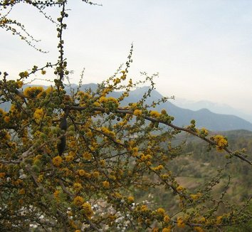 Acacia caven 3 flower