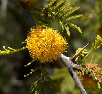 Acacia caven 5 flower
