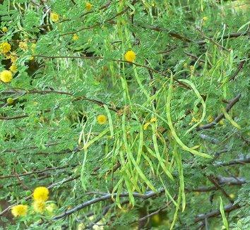 Acacia constricta 1 flower