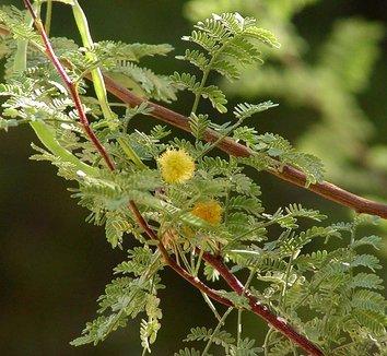 Acacia constricta 4 flower